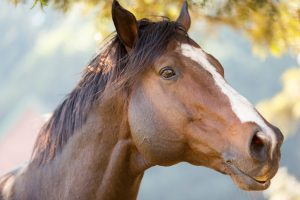close up of an purebred racing horse for National Day of The Horse