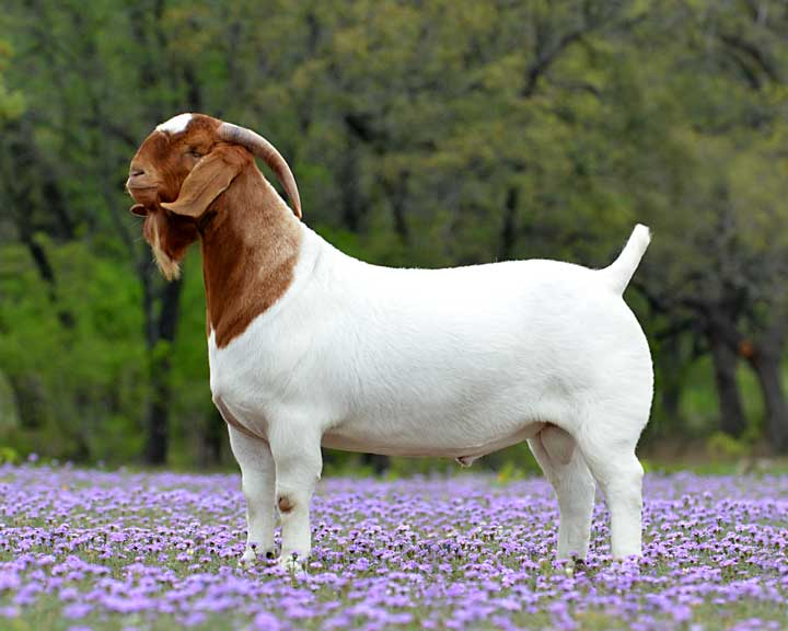 Tsunami, the goat, standing in a field with purple flowers.