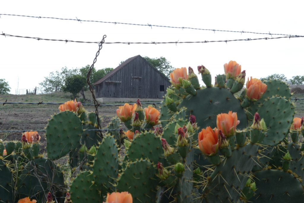 old barn in the background with cacti in the front of the photo