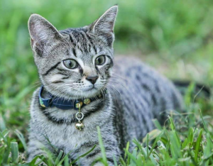 grey tabby cat sitting in the grass