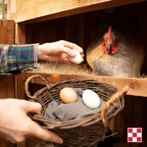chicken hen in a nesting box with a person collecting eggs